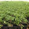 More tomato plants grow in the greenhouse.