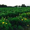 Marigolds border the end of this 2015 field of eggplants.