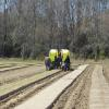 The final planting of spring lettuce is transplanted in the field.