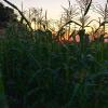 Bicolor sweet corn is a new crop in 2015.  A limited trial was planted to see how it worked.  The corn is delicious!  This picture shows the corn field at sunset.